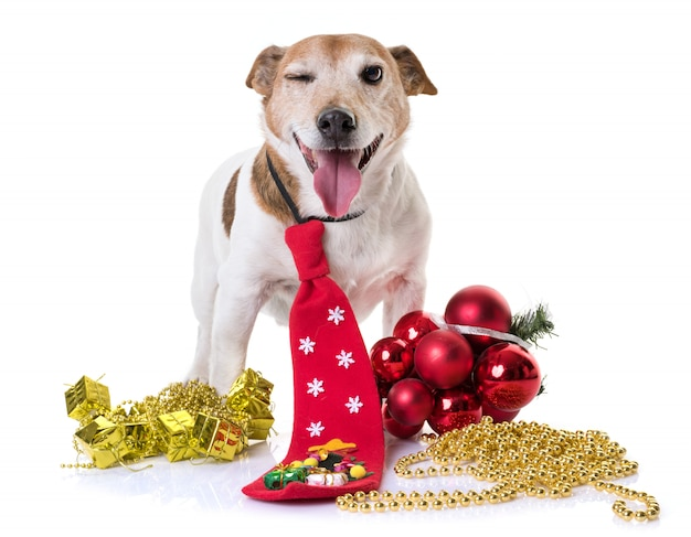 Old jack russel terrier and christmas