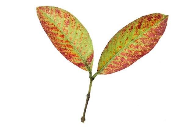 Old leaf isolated on white background