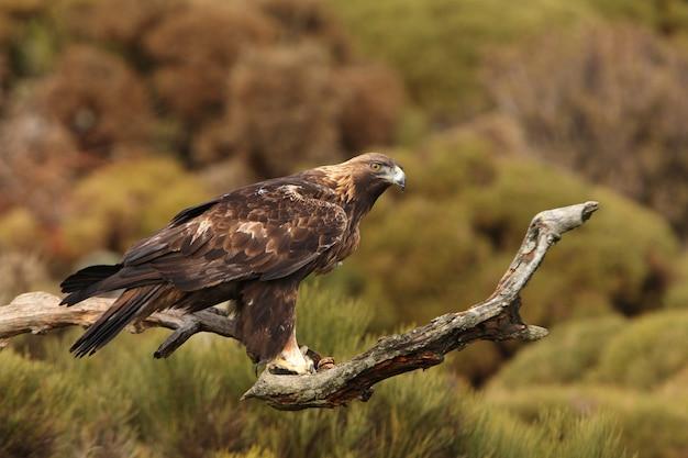 Старый самец золотого орла