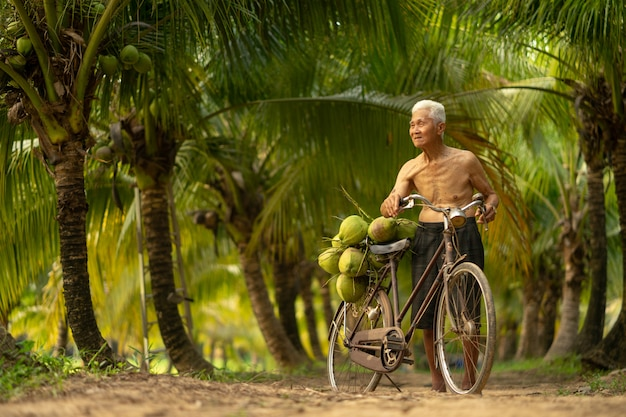 Old man collecting coconut in coconut farm in thailand.