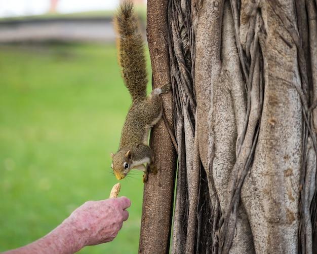Старик подает арахис рукой коричневой белке, стоящей на дереве.