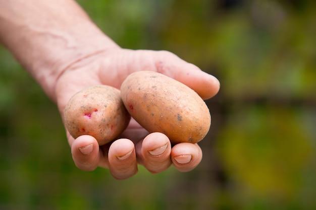 Рука старика со свежесобранным картофелем на зеленой территории