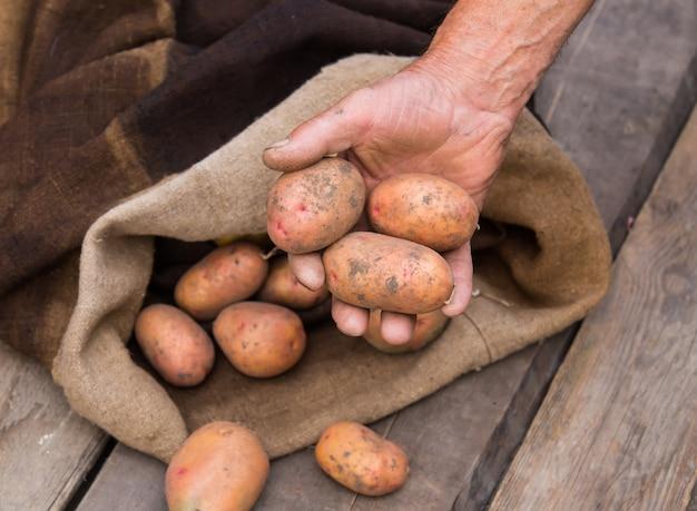 Рука старика со свежим собранным картофелем с почвой все еще на коже