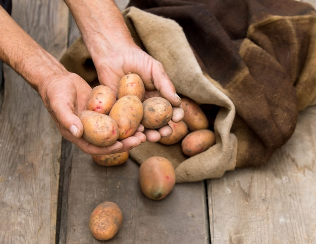 Old man hand with fresh harvested potatoes with soil still on skin, spilling out of a burlap bag, on a rough wooden palette.