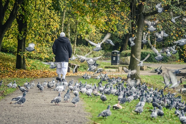 The old man is walking into the pigeons group.