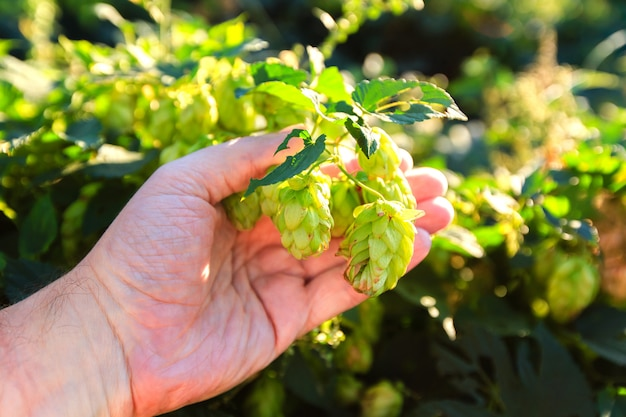 Old mans hand holding green hops on a plant at sunny day