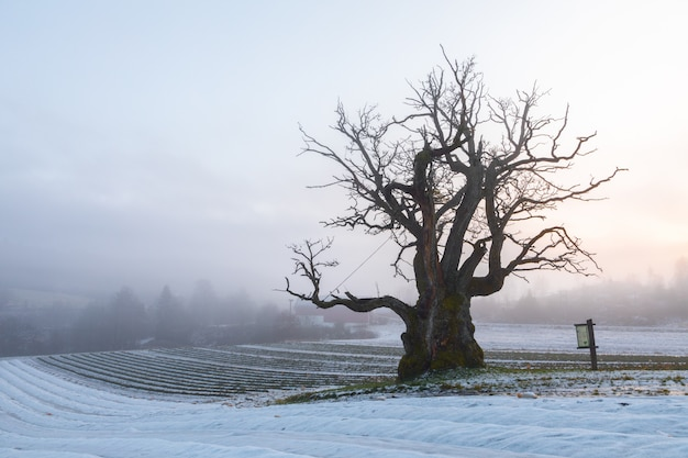 Old oak tree in winter landscape with fog. mollestadeika. one of the largest oak trees in norway.