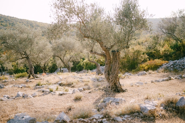 An old olive tree in a multistorey grove on a hillside among the stones filled with warm sunset