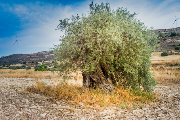 오래 된 올리브 나무