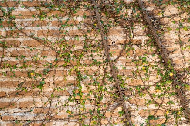 Старая оранжевая каменная стена покрыта ветвями виноградной лозы.