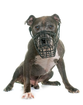 Old pitbull and muzzle