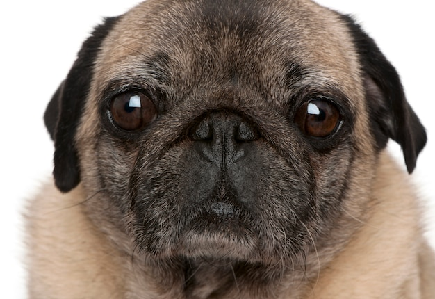 Old pug (6 years old)