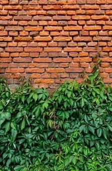 野生ブドウの緑の葉で覆われた古い赤レンガの壁。ツタとレンガの壁のテクスチャ。自然な背景。
