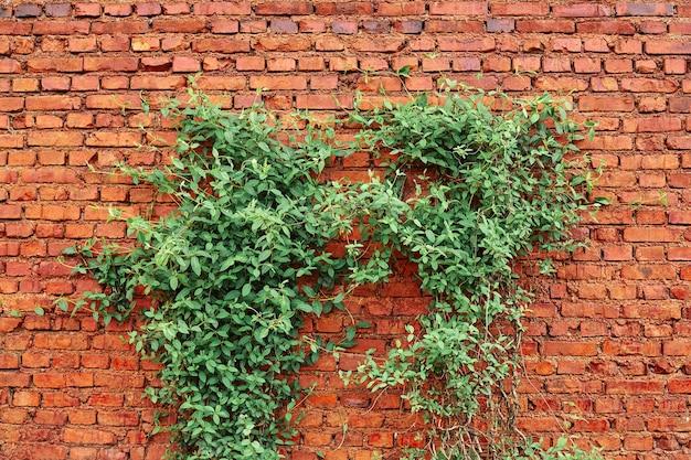 古い赤レンガの壁のテクスチャと端にぶら下がっている緑の葉