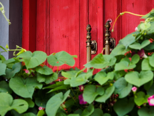 An old red wooden door with gold handles behind lush green foliage