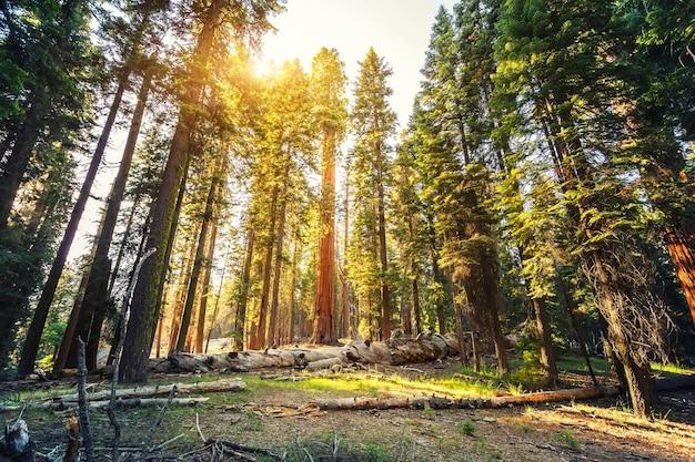 Старое красное дерево в национальном парке секвойя