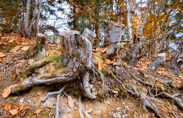 Old rotten stump sprinkled with multicolored fallen leaves