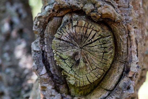 Old round cut down branch on a tree