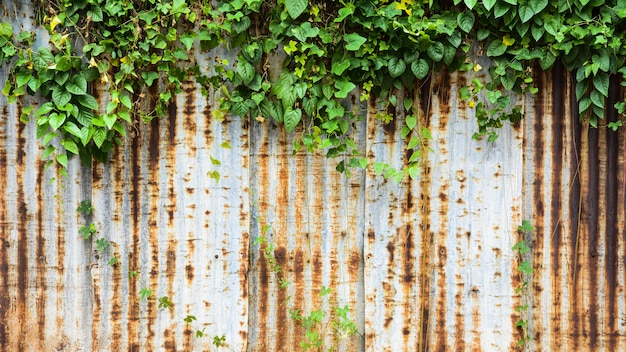 Old and rusty galvanized iron wall with ivy texture