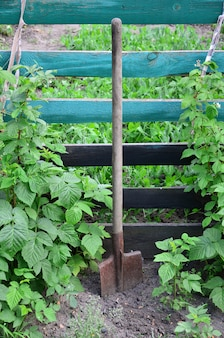 An old rusty shovel near the raspberry bushes, which grow next to the wooden fence of the village garden.