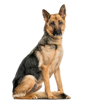 Old skinny german shepherd dog sitting looking at the camera isolated on white