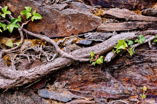 忍び寄る植物の根を持つ古い石の壁