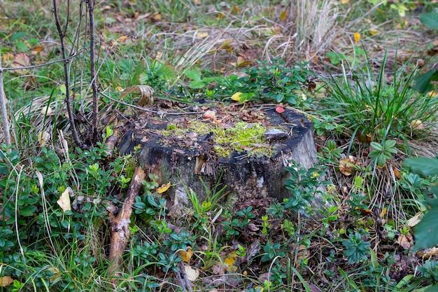 가을 숲에 이끼가 무성한 오래된 그루터기
