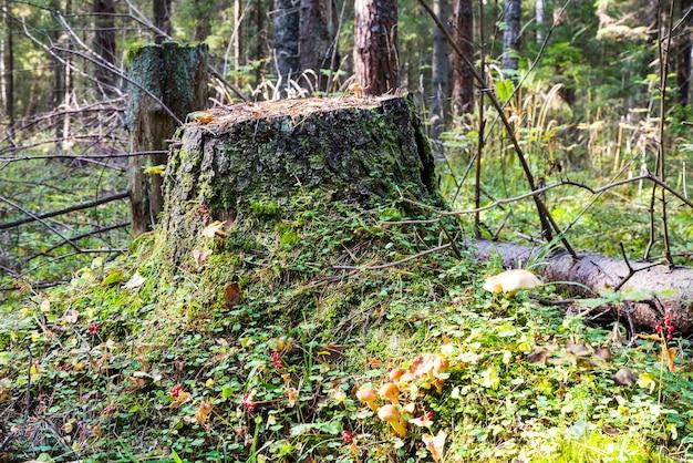 Старый пень, заросший мхом. пень в осеннем лесу