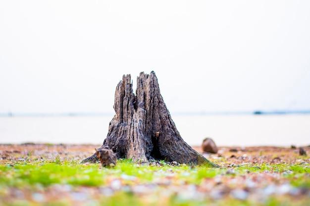백그라운드에서 강 잔디 바닥에 오래 된 그루터기.