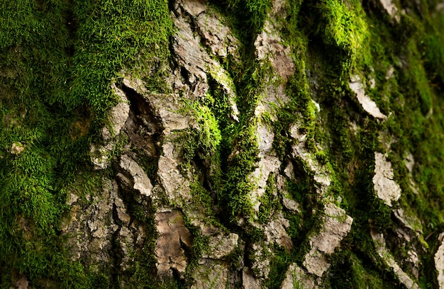 Old tree bark with a green moss