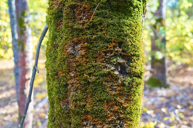 Old tree in the forest with an expanding the moss on the trunk.