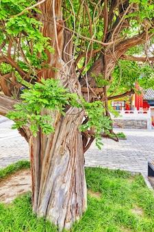 베이징 공자묘 근처의 오래된 나무 - 중국에서 두 번째로 큰 유교 사원. 베이징.