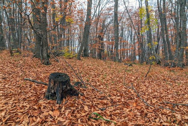 가 숲에서 오래 된 나무 그루터기