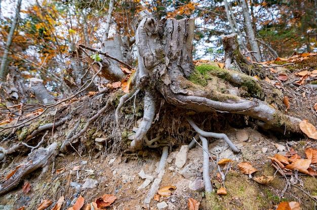 秋の森に落ち葉が散りばめられた古い木の切り株