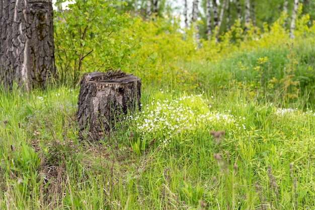 Old tree stump in the woods.