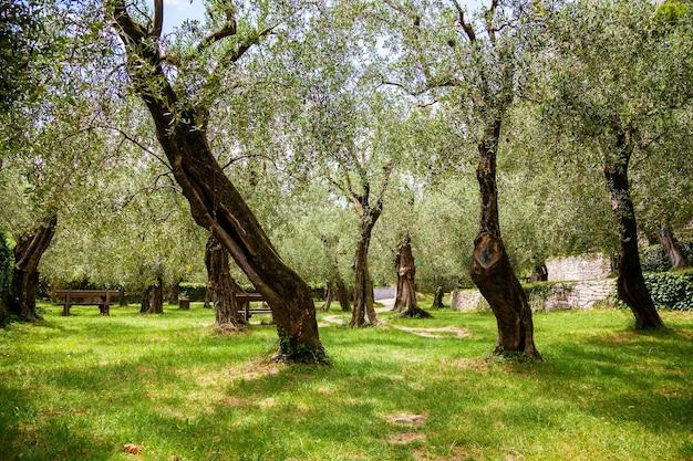 イタリア、ガルダ湖、ナーゴトルボレの古い都会のオリーブ公園