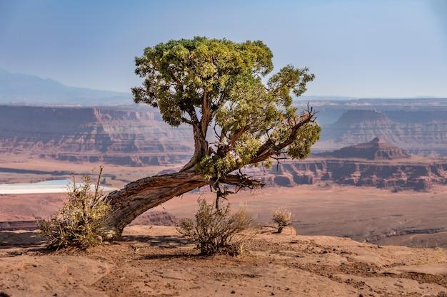 ユタ州デッドホースポイント州立公園の尾根にある古い風化した松の木