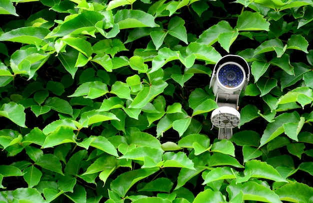 Old white cctv camera or surveillance on the wall with green leaf climbing plant