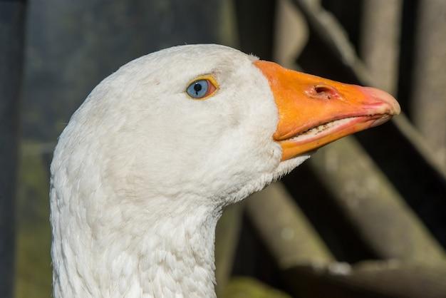 Старый белый гусь морда крупным планом портрет на природе