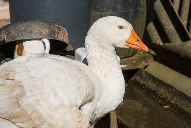 Old white goose in the yard