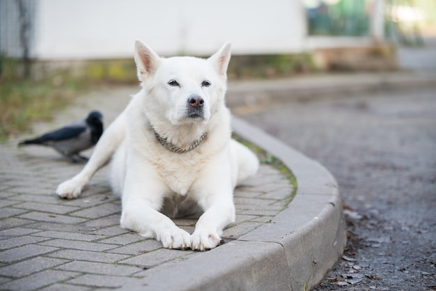 Old white swiss shepherd dog poses outside