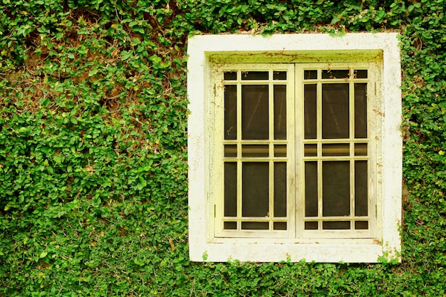 Old white wooden windows and ivy green leaves covered the wall background.