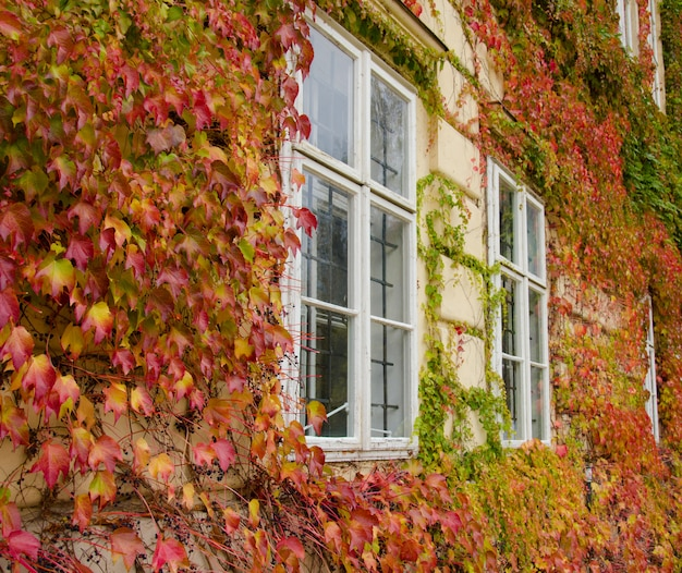 Old windows in an old vintage house hidden in bright red and yellow autumn leaves of the creeper plant