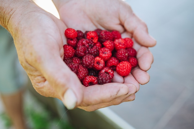 Old woman hand hold ripe raspberrie. grandmother handful with fresh berries.