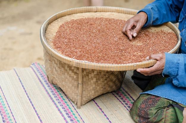 늙은 여자는 햇볕에 건조 후 쌀 베리 씨앗을 선택합니다.