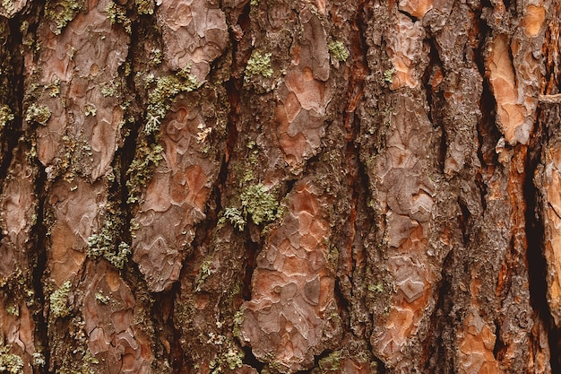 Old wood bark texture or background. red pine tree
