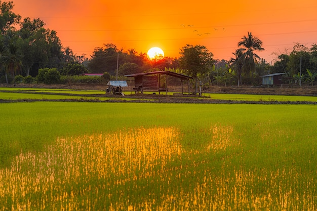 Old wood cottage in green field cornfield in asia country agriculture harvest with sunset sky background in thailand.