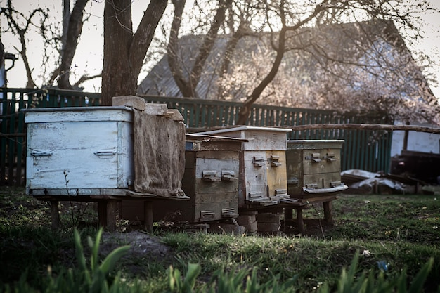 Old wooden hives on apiary. flowering cherry with pollen for development of bees in april. beekeeping