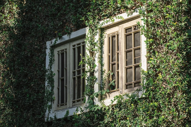 Old wooden windows are covered with leaves around