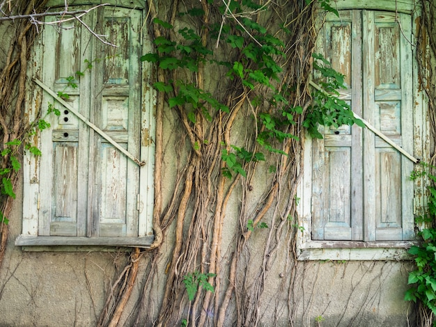 Old wooden windows overgrown with ivy. the facade of the old building is overgrown with wicker wood